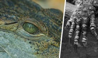Гигант-аллигатор прошёлся по полю в США, и люди хотят паковать чемоданы. Рептилия — почти динозавр (милый)