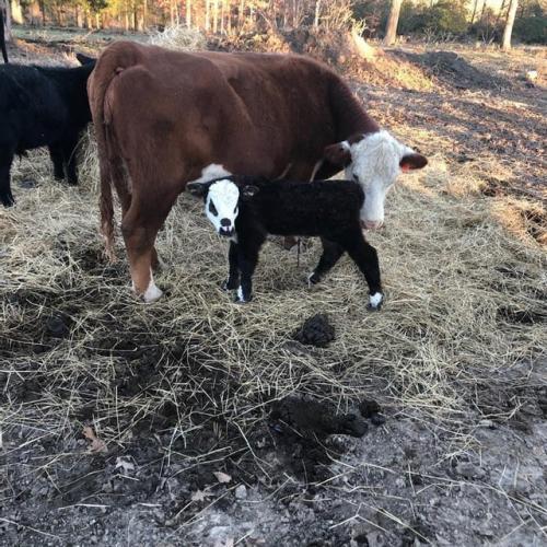 На ферме родился телёнок от лукавого: по нему видно, что он любит Карателя и Слипнот