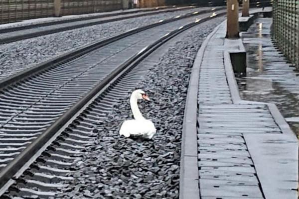 Лебедь перекрыл рельсы и задержал на час 23 поезда. Это не акция протеста, а мотивы птицы - эталон романтики