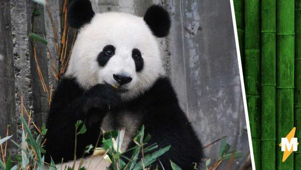 Работники зоопарка месяц радовались рождению малыша панды. Но детёныш оказался не тем, за кого себя выдавал