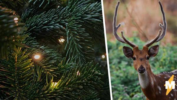 Мужчина показал новогоднюю ель и разозлил Рудольфа. В этот дом Дед Мороз точно не придёт, ведь дерево рогатое