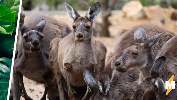 Лапы кенгуру - причина избегать Австралию №100. Люди увидели их и теперь не знают, как не бояться прыгунов