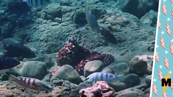 Учёные выяснили, почему осьминоги бьют рыб. Похоже, это клуб подводных абьюзеров, о котором нельзя говорить