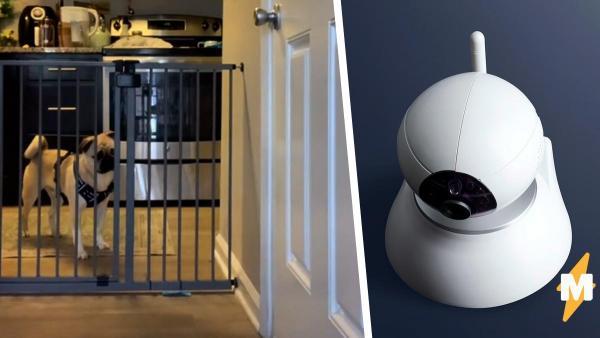 Хозяйка оставила мопса дома и установила скрытую камеру. Оказалось, паркур по-собачьи – это реальность
