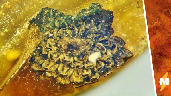 Учёный спас цветок, которому больше 100 миллионов лет, просто посмотрев на янтарь