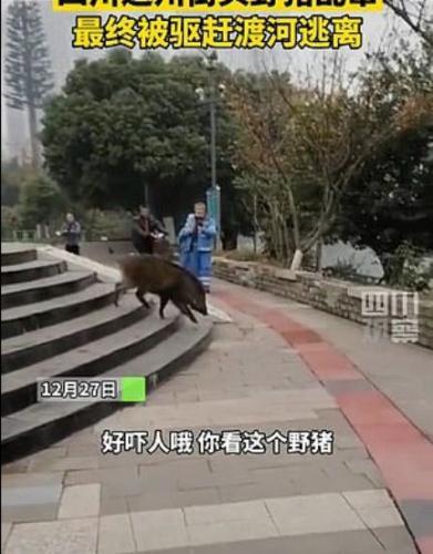 Пумба уже не тот. В дикого кабана вселился бес: он устроил дестрой на улицах города и смог убежать от копов