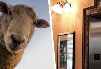 Работники увидели в отеле овцу и не поверили глазам. Она решила подняться на ступень эволюции, используя лифт