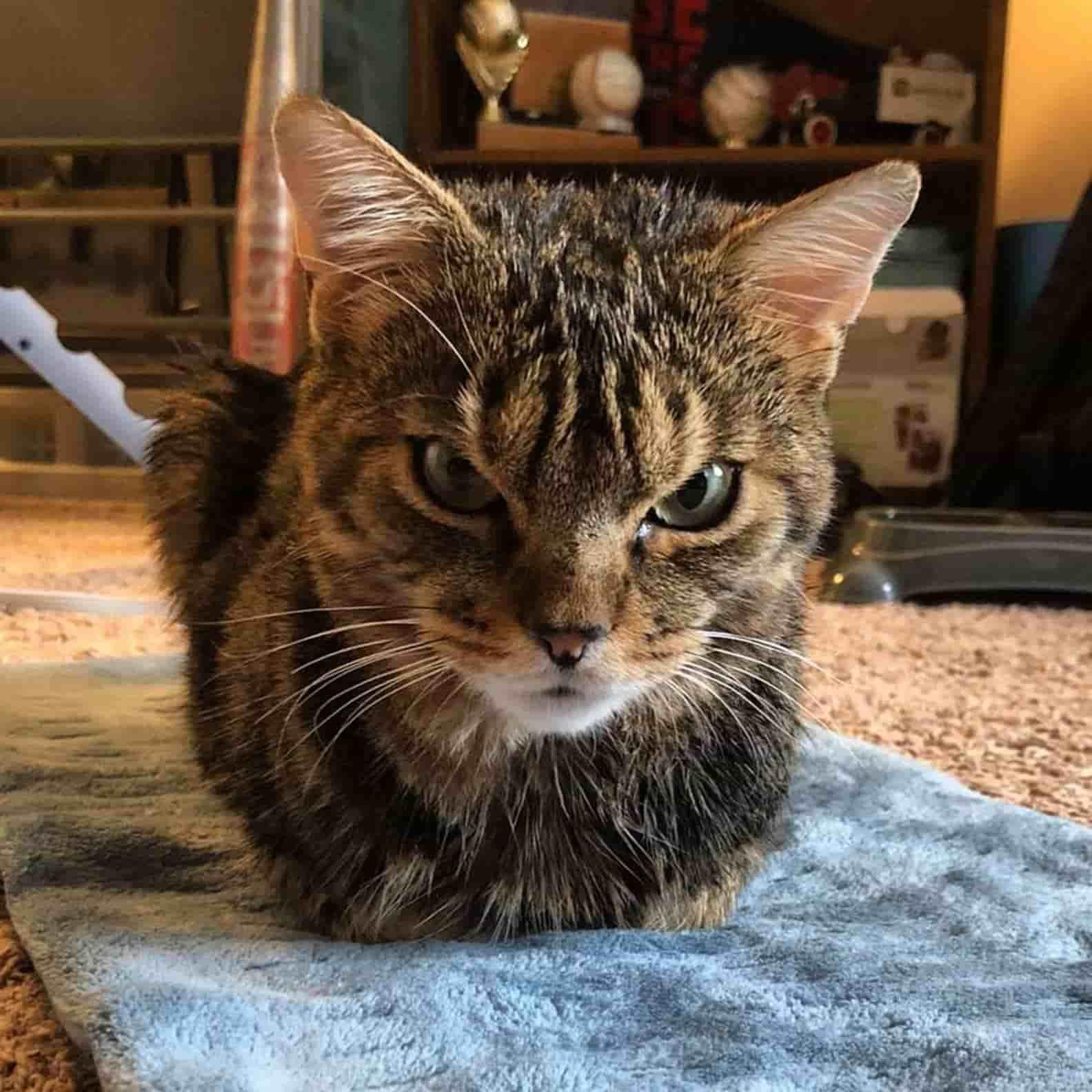 Бездомный кот пугал людей сердитой мордой, пока не обрёл хозяйку. Капля домашнего уюта, и котана не узнать