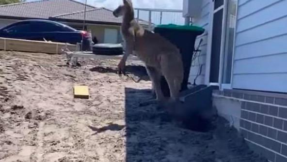 Мужчина почувствовал себя бойцом ММА и ввязался в битву с кенгуру. Закончилось всё фиаско и видео на память