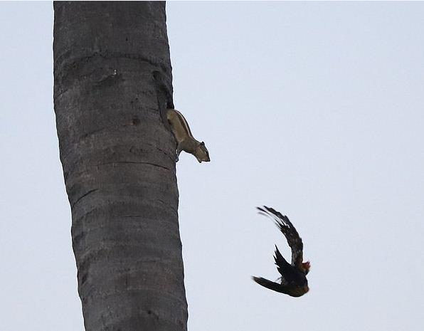 Соседская драма: дятел потревожил покой хозяйки, и всё закончилось скандалом на ветках одного дерева