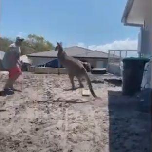 Мужчина почувствовал себя бойцом ММА и ввязался в битву с кенгуру. Но закончилось всё полным фиаско