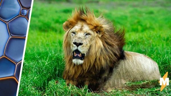 Фотограф заснял драку льва и гепарда - и это жуткая иллюзия. Глядя на неё, можно перестать жалеть Муфасу