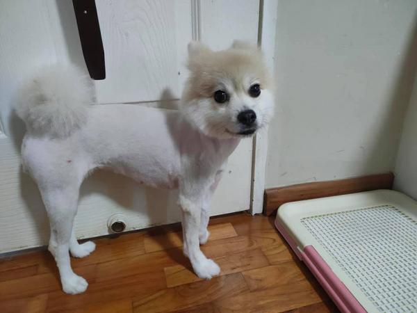 Хозяева принесла собаку к грумеру, а тот вернул только половину животного. Такую стрижку невозможно простить