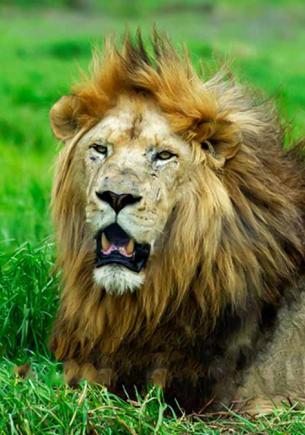 Фотограф заснял драку льва и гепарда, и это жуткая иллюзия. Глядя на неё, можно перестать жалеть Муфасу