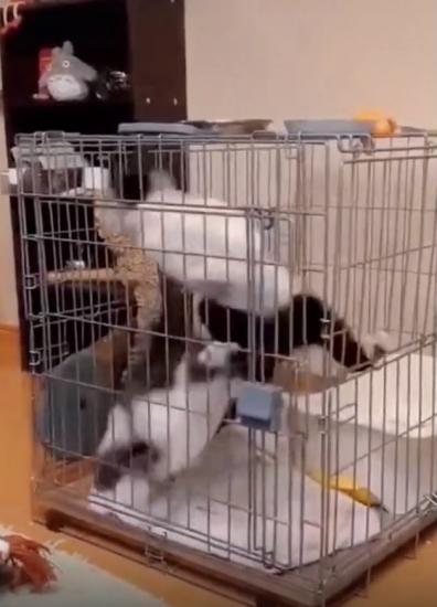 Парень посадил своих котов в клетку и, кажется, создал вечный двигатель.