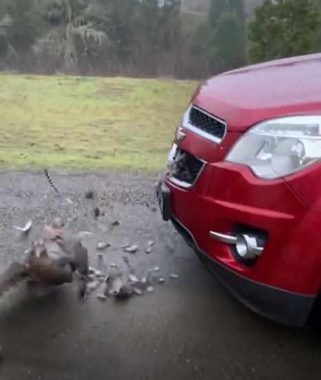 Семья сбила индюшку и попыталась её вытащить. Финал немного непредсказуем: никогда не спорьте с птицами