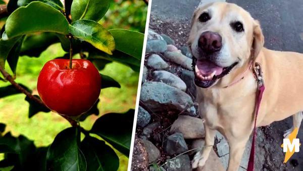 Хозяева на видео показали, как их собака украла яблоко и попалась. Ведь сама добыча наказала четвероногого