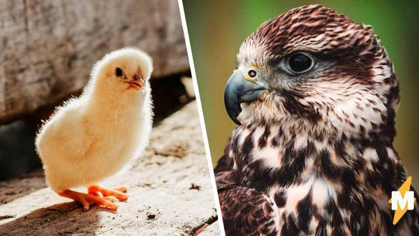 Ястреб украл двух цыплят, но зря вернулся за третьим. Видео показало: курицы-гангстеры есть не только в Skyrim