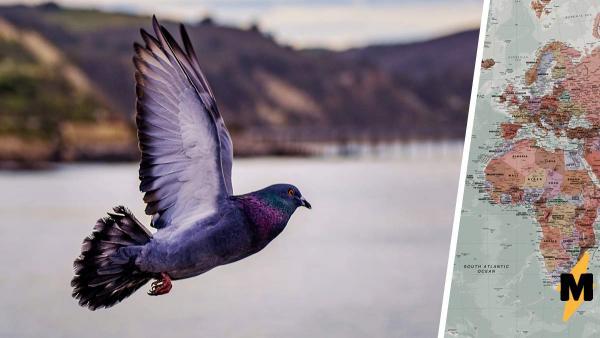Гоночный голубь увлёкся и пролетел 13000 км. Если бы он знал, как его наградят за рекорд, - стал бы вокзальным
