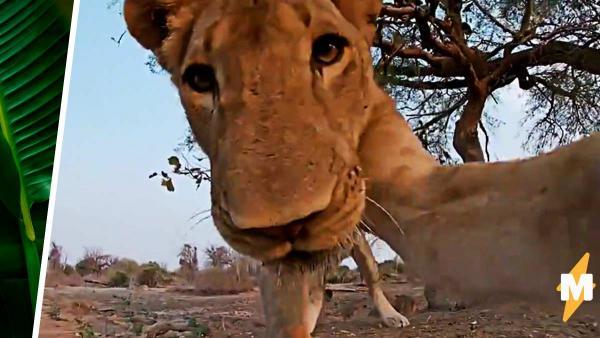 Что видит жертва льва в последний раз? Фотограф узнал, обронив свою камеру рядом с территорией львиного прайда