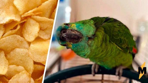 Попугай пристрастился к чипсам и прибавил в весе. Теперь он — самая толстая птица, но от этого стал ещё милее