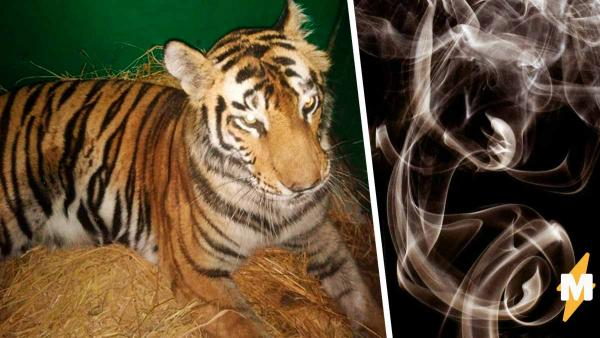 Тигрица завела вредную привычку, и лесник снял это на видео. Зоозащитники такое точно не оценят