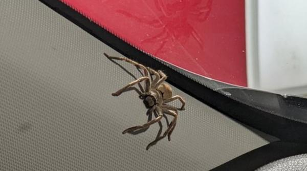 Женщина убила паука в машине, но тот оказался мстительным. Сюрприз карателя с лапками - повод сжечь авто