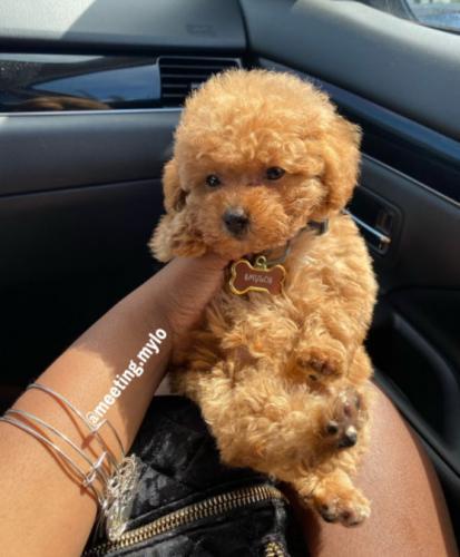 Хозяйка сводила щенка в салон и доказала: у псов тоже бывают плохие стрижки. Грумер сменил породу собаке