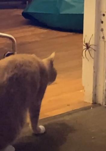 Кошки ловят мышей, а что насчёт гигантских пауков? Девушка проверила и пожалела (как и кот) - дом не узнать