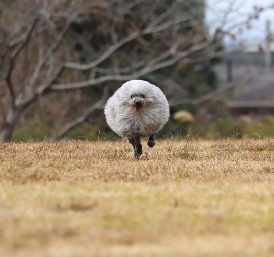 Хозяин сделал стрижку пуделю и лишился пса. Вместо сутулой (буквально) собаки у него теперь милая овечка