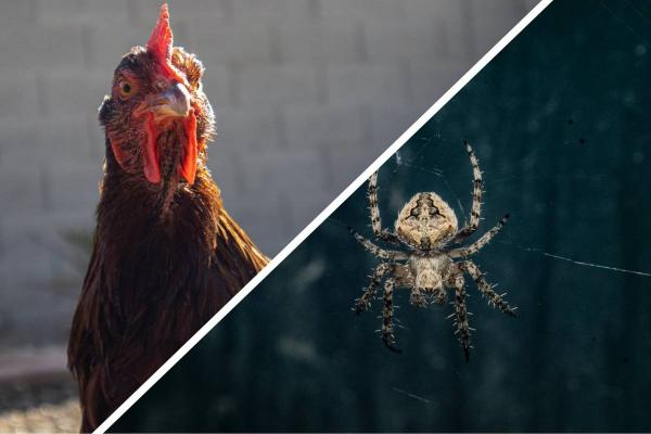 Блогерша показала, как избавиться от паука с помощью курицы (зря). Теперь люди боятся за девушку и птичку
