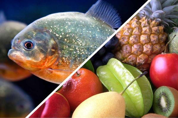 Блогер показал, как перевёл пираний на веганскую диету с помощью ананаса. Но рыбки показали кто здесь хищник
