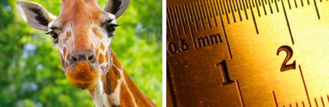 Учёные показали, как выглядят карликовые жирафы, и это готовый мем. Природа, что ты делаешь, ахаха, прекрати