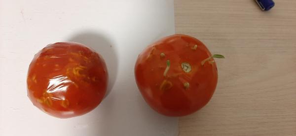 """Девушка купила помидоры и поняла: вот они, овощи """"экономкласса"""". Но томат не виноват: подвели условия хранения"""