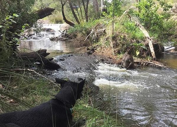 Садовник выгуливал собаку, а наткнулся на грозного кенгуру. Мощности животного позавидует любой бодибилдер