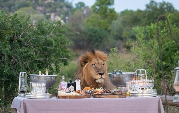 Лев присоединился к обеду, но ему явно не были рады. Чтобы прокормить такого гостя не хватит всего меню