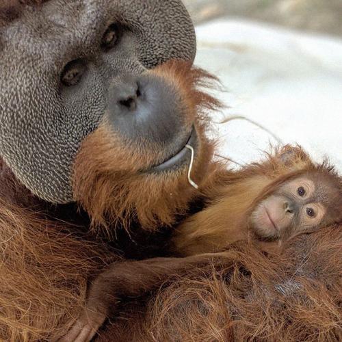 Орангутан пошёл против системы и закосплеил отца-одиночку. Зоологи не понимают, как такое возможно