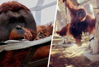 Орангутан в зоопарке одним действием доказал: учёные не правы. Для этого он просто взял на руки свою дочь