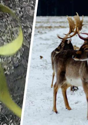 Рейнджер помог застрявшим рогами оленям в стиле Клинта Иствуда. Всё просто: пистолет, меткость и никаких травм