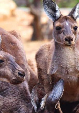Работники зоопарка посмотрели на кенгуру и поняли: он мутант. Его выдала не лишняя лапа, а недостающий цвет