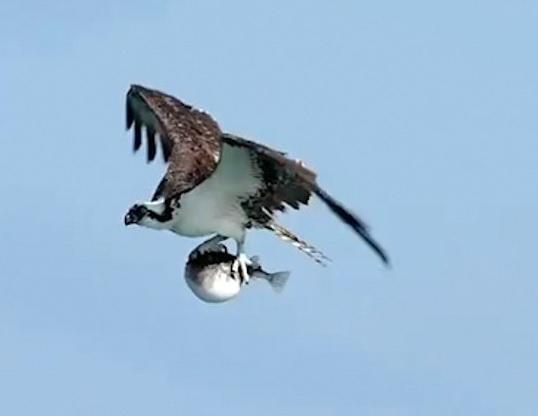 Птица решила перекусить, но поймала не ту рыбу. Взглянув на неё, становится понятно — ужин обречён