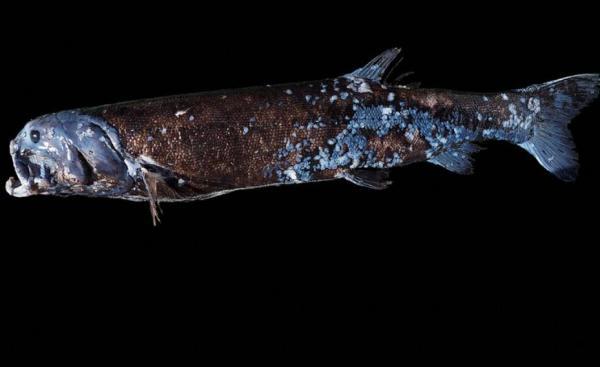 Японцы увидели рыбу и поняли - зря считали, что сумоистами называют людей. Она может уложить взмахом хвоста