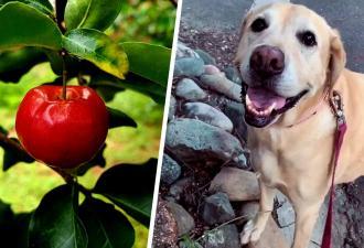 Ретривер на видео хотел украсть яблоко, но познал действие мгновенной кармы. Ведь фрукт сам поймал воришку