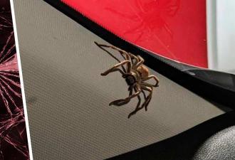 Женщина прихлопнула паука в машине, но тот оказался мстительным. Сюрприз карателя с лапками — повод сжечь авто