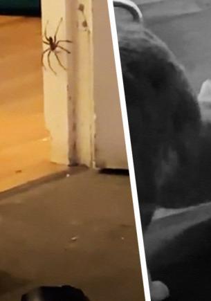 Кошки ловят мышей, а что насчёт гигантских пауков? Девушка проверила и пожалела (как и кот) — дом не узнать