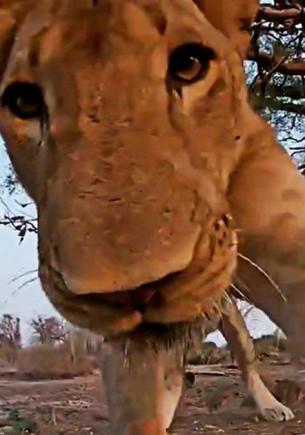 Что видит жертва льва в последний момент жизни. Фотограф узнал, посетив с камерой территорию прайда