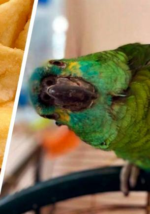 Попугай пристрастился к чипсам и прибавил в весе. Теперь он — самая толстая птица (но от этого только милее)