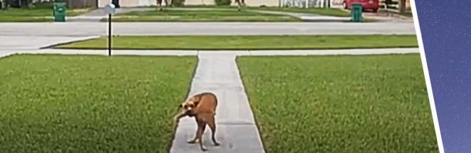 Пёс играл со своим хвостом и сломался (буквально). Видео нужно пересмотреть пять раз, чтобы перестать смеяться