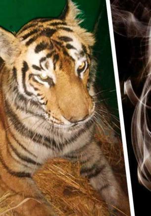 Тигрица завела вредную привычку, и лесник снял это на видео. Зоозащитники такое курение точно не оценят