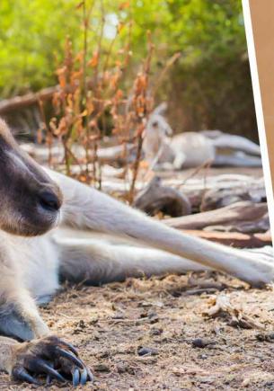 Хозяин выгуливал собаку и наткнулся на грозного кенгуру. Мощности животного позавидует любой качок и даже Халк
